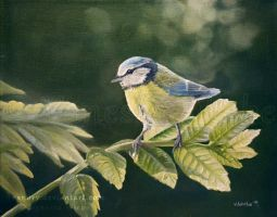 Blue Tit by Vanory