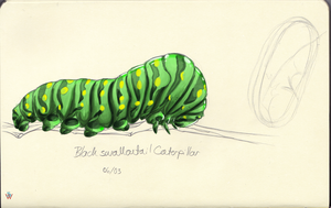 Black Swallowtail Caterpillar by CookieAsylum