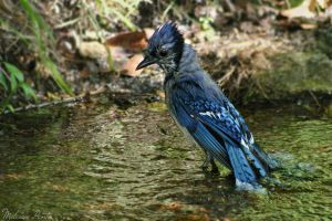 Bathing Blue Jay by mydigitalmind