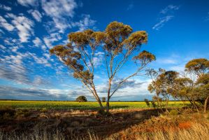 Gum and Canola by Sun-Seeker