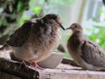 Placid Little Mourning Dove 18a by Windthin