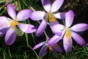first crocuses 7 by ingeline-art