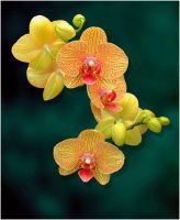 YELLOW ORCHIDS 1 7 11 by THOM-B-FOTO