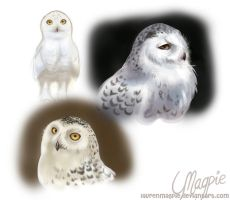 Snowy Owl Practise by LaurenMagpie