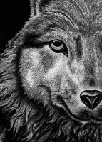 Scratchboard Wolf by jezebel