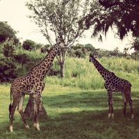 Pair of Giraffes by Grumbles106
