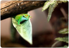 Four Spot Day Gecko by OrangeRoom