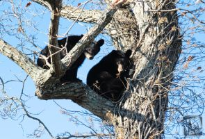 Bears looking from a tree by kurtywompus
