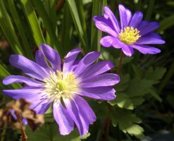 Couple of Anemone Blanda by johnyquest31