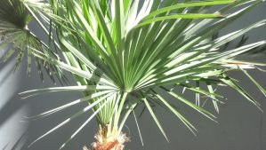 Palm Tree by CliffEngland