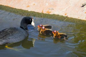 Coot with Chicks by dkbarto