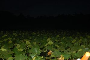 lillypads by Coall