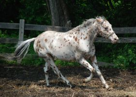 Appaloosa 54 by Spotstock