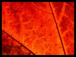 Maple Leaf Detail by andras120