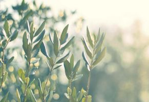 Olive tree by PiaVersense