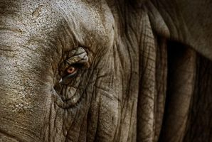 Disturbing glance of elephant by ChristineAmat