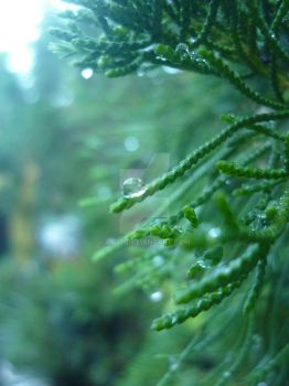 rain on the tip of the leaf pine by cicit
