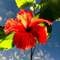Hibiscus  by Agatha-Tyche