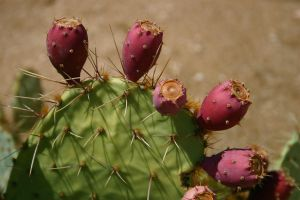 Pink Prickly Pear Fruit by terryrunion