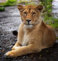 Lion Queen by OrangeRoom