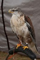 hawk by GMCollins