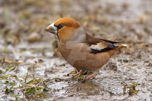 Wet feet - Hawfinch by Jamie-MacArthur