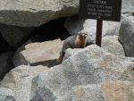 marmot and steep cliffs by ell2hland