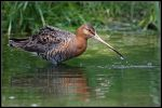 Godwit by cycoze