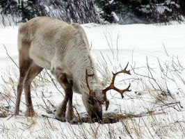 Caribou by LucieG-Stock