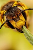 European Wool Carder Bee IX by dalantech