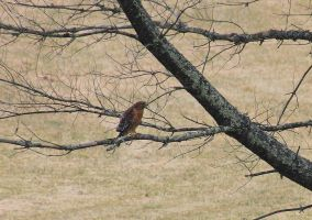 Red Shouldered Hawk II by Part-Time-Cowboy