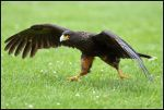 Striated Caracara by nitsch