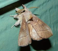 White-dotted Prominent moth by duggiehoo