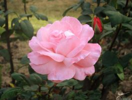 Fragrance of Pink Rose by manicolorz
