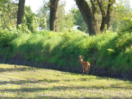 Another Male Roe Deer by MyCrazyCat