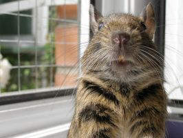 Degu Face by Lonacc