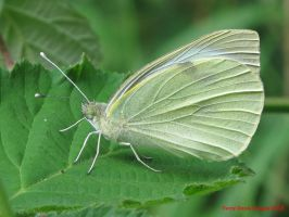 Large White by Terrydunk