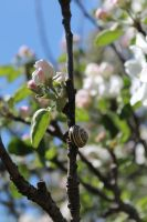 Apple Blossom by Per-Christian