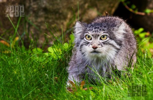 The Pallas Cat by PictureByPali