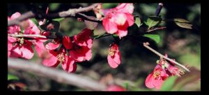 The Quince Tree by NightShades