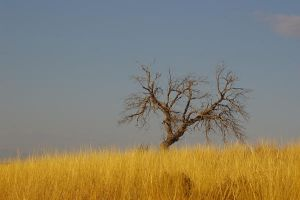 Lone Tree by PatGoltz
