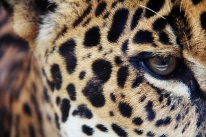 Eye of the Jaguar by deliquescing