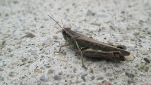 Young Grasshopper by Kaedos