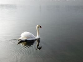 Swan In Winter by vifetoile