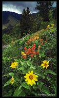 Hells Canyon Wild Flowers by narmansk8