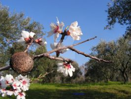 almonds flower by mandalamker