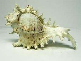 Conch Shell Stock1 by NoxieStock