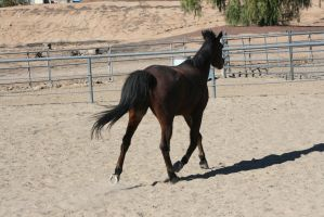 STOCK: Bay Horse13 by SnowPhotography