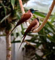 Bee-eaters by Hareguizer