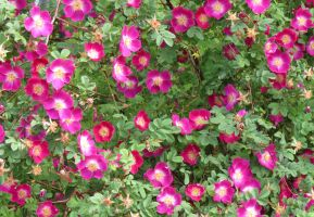 Rosa spinosissima 'Mrs Colville' 2 by Kattvinge